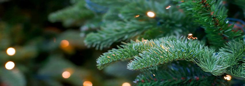 Let's take a closer look at the history of this famous fir.