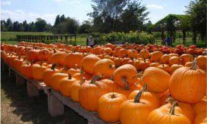 pumpkin patches 1